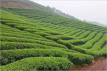 Zelený čaj - plantáž